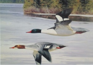 Early Spring - Common Mergansers