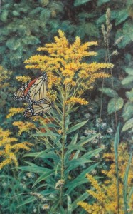 Monarch Butterflies and Golden Rod